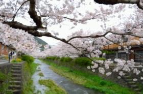 一の坂川の桜サムネ