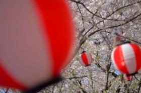 王子山公園の桜サムネ