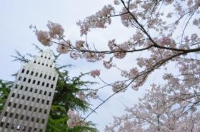 真締川公園の桜サムネ