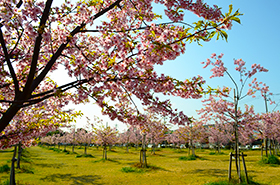 花の園の桜サムネ