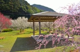 萩往還梅林園の梅サムネ