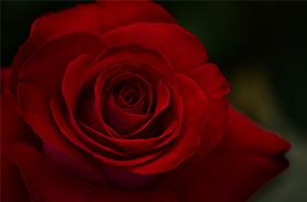 薔薇のサムネ.jpg