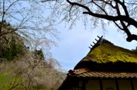 重源の郷の桜サムネ