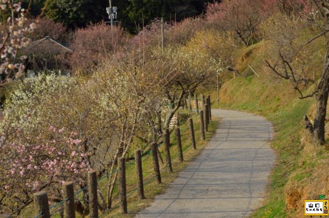 冠山総合公園の梅_03