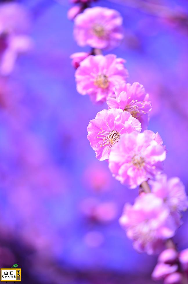 冠山総合公園の梅_06