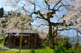 南明寺の桜サムネ