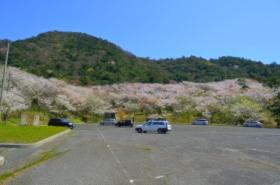 青海島さくらの里の桜サムネ