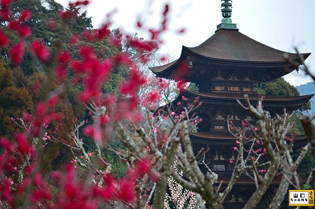 香山公園の梅_02