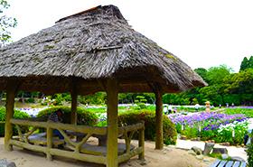 ときわ公園の菖蒲サムネ