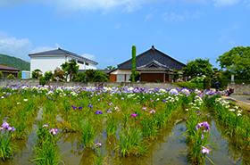 護国寺の菖蒲サムネ