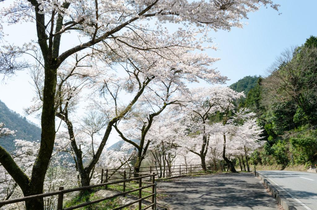 ふれあいパーク大原湖の桜