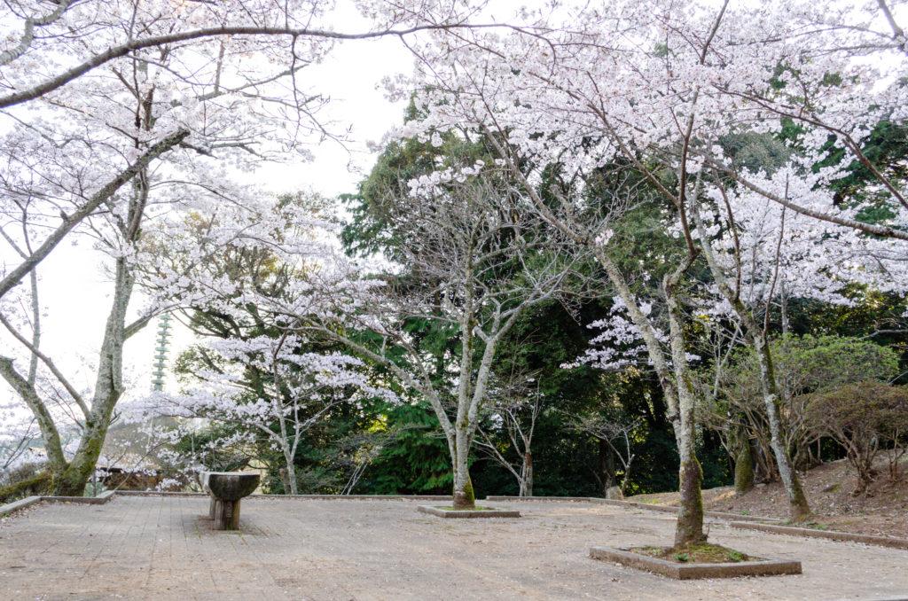 瑠璃光寺五重塔の桜
