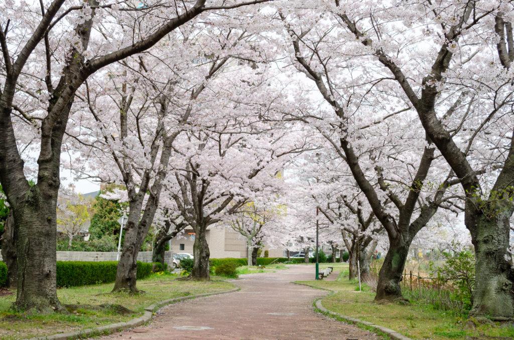 真締川公園の桜