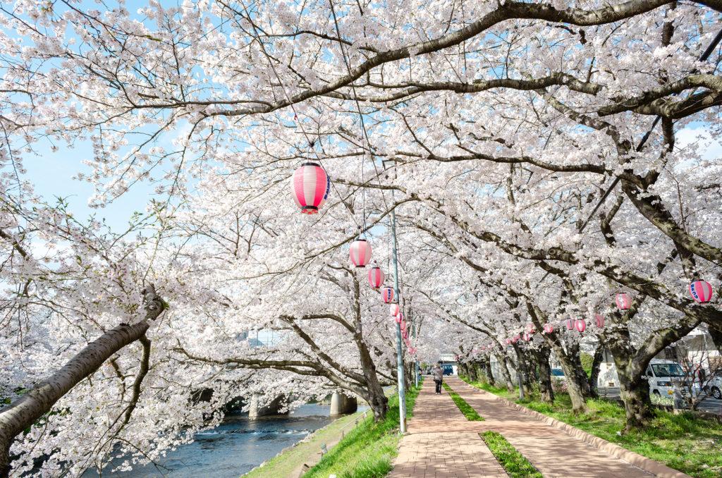 美祢さくら公園の桜