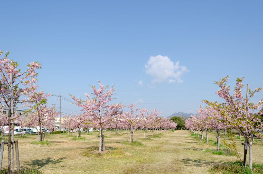 花の園の桜