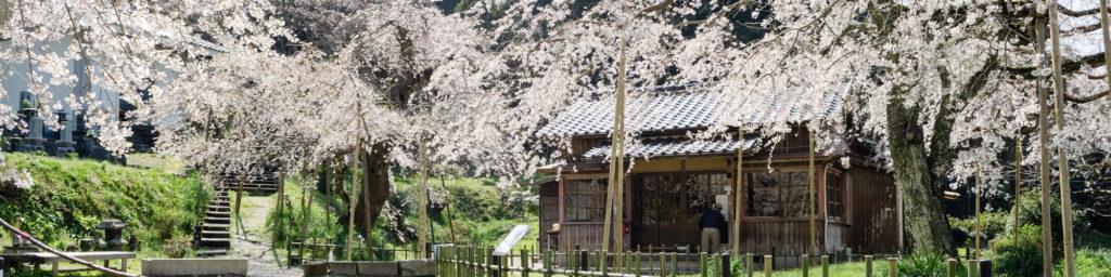 萩の桜スポット