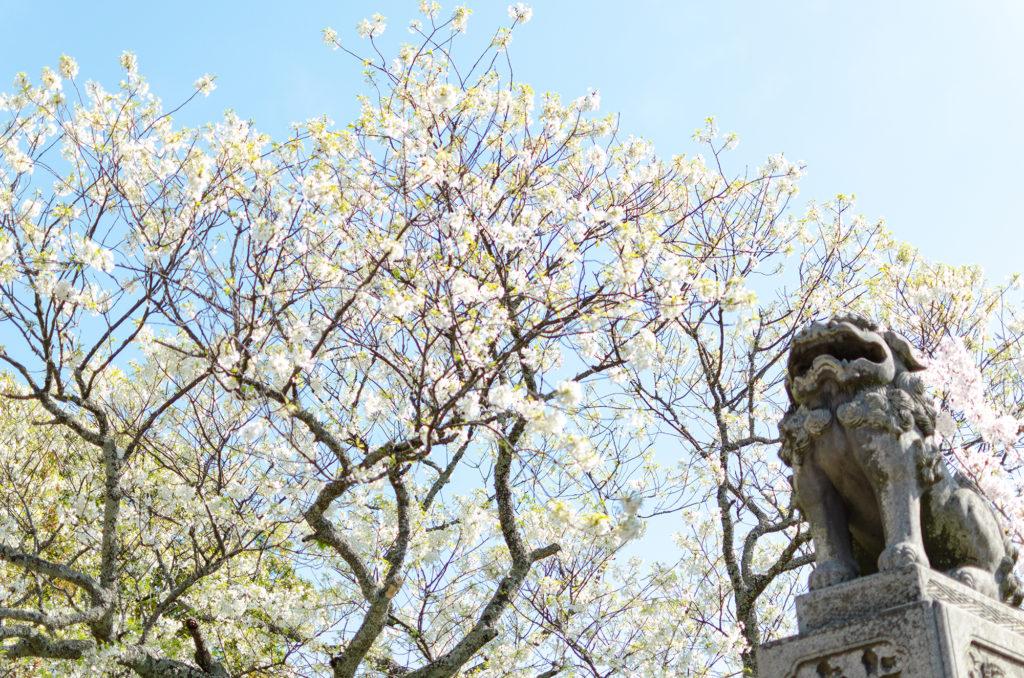 萩城のミドリヨシノ