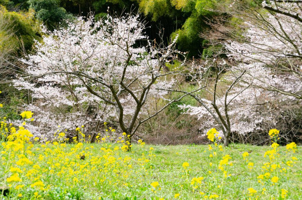 重源の郷の桜