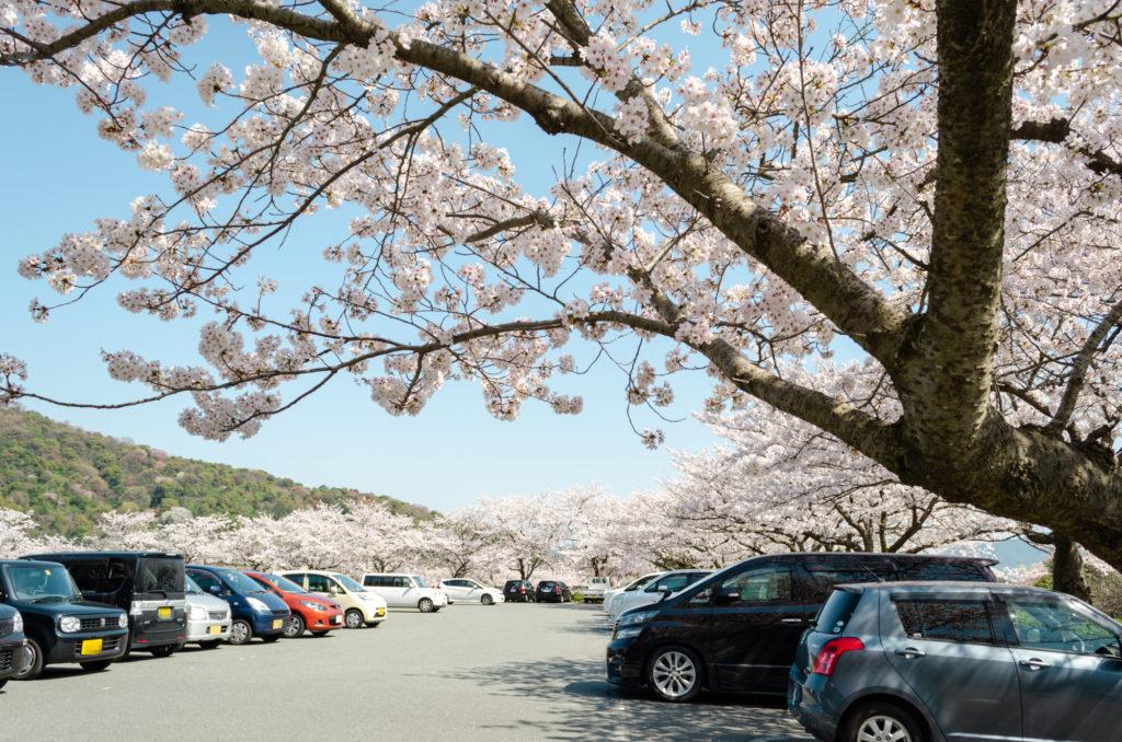 防府天満宮の桜