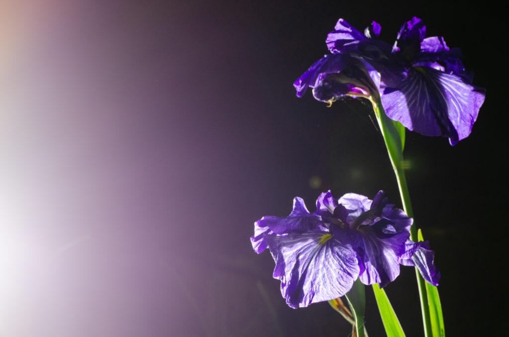 ときわ公園の菖蒲ライトアップ