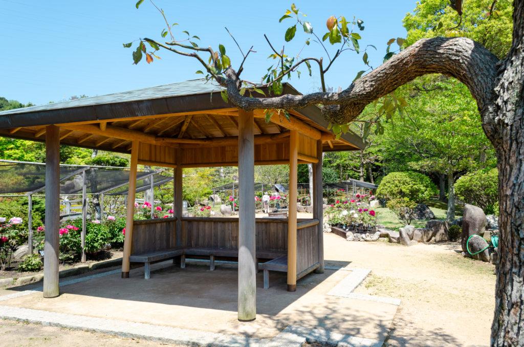 冠山総合公園の牡丹