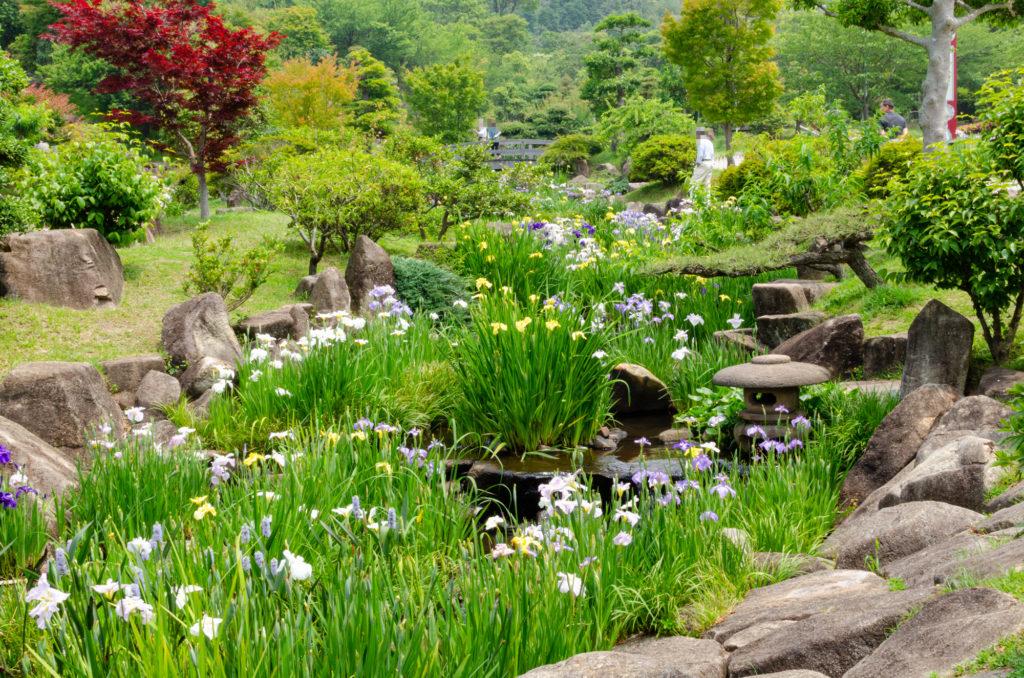 冠山総合公園の菖蒲