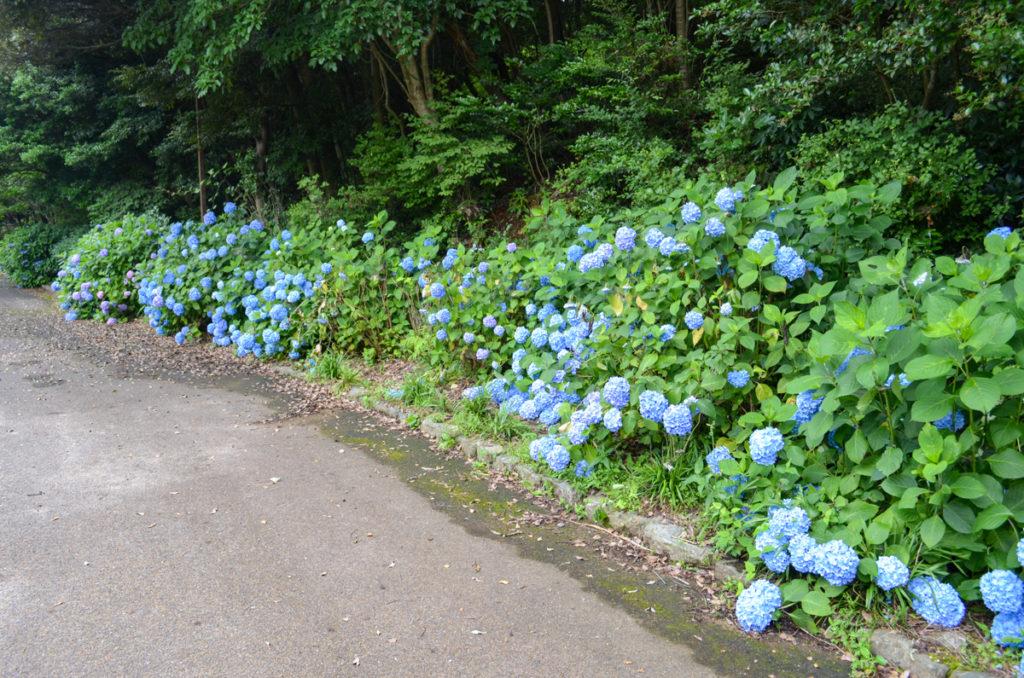 江汐公園の紫陽花