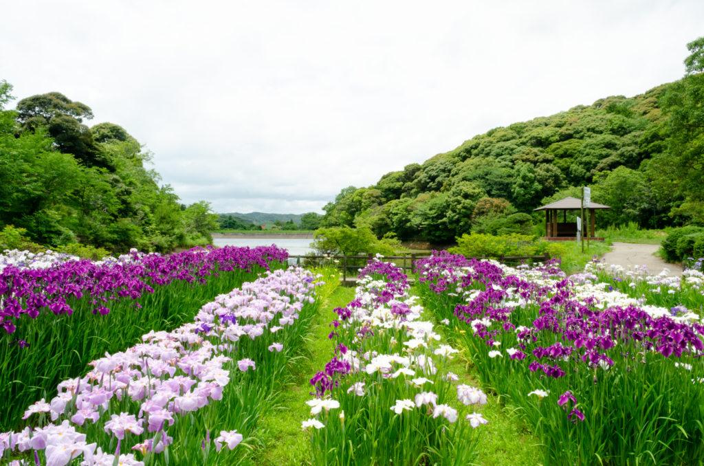 物見山総合公園の菖蒲
