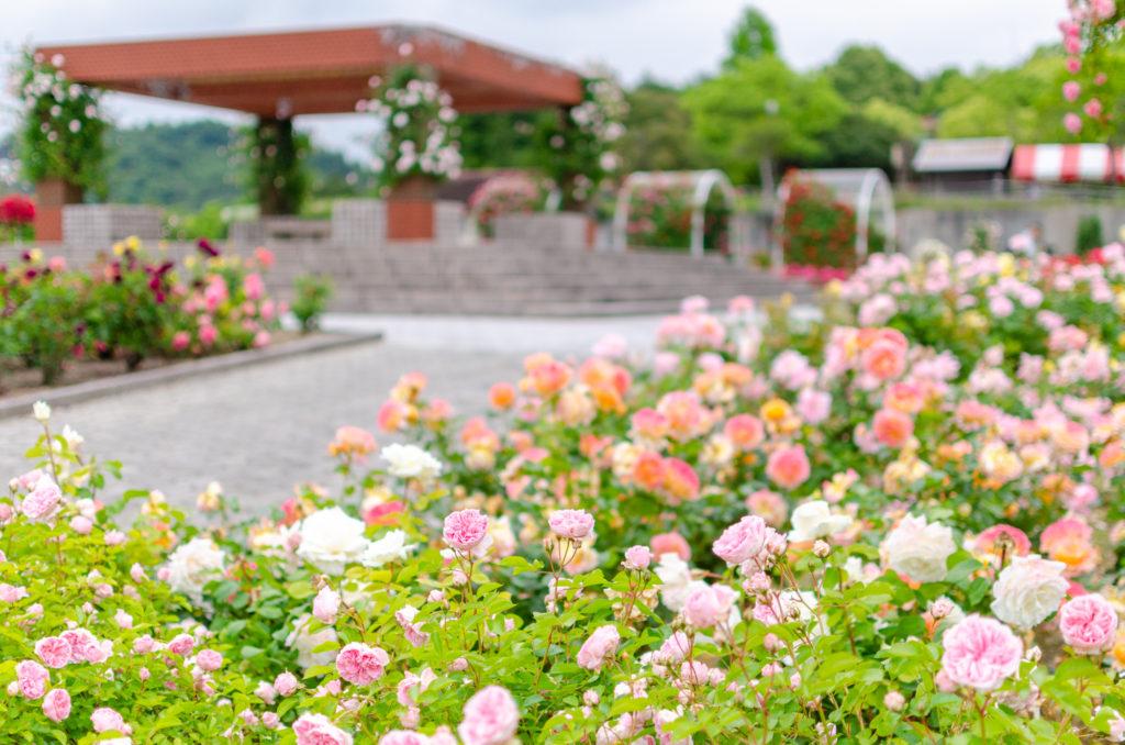 蜂ヶ峯総合公園のバラ