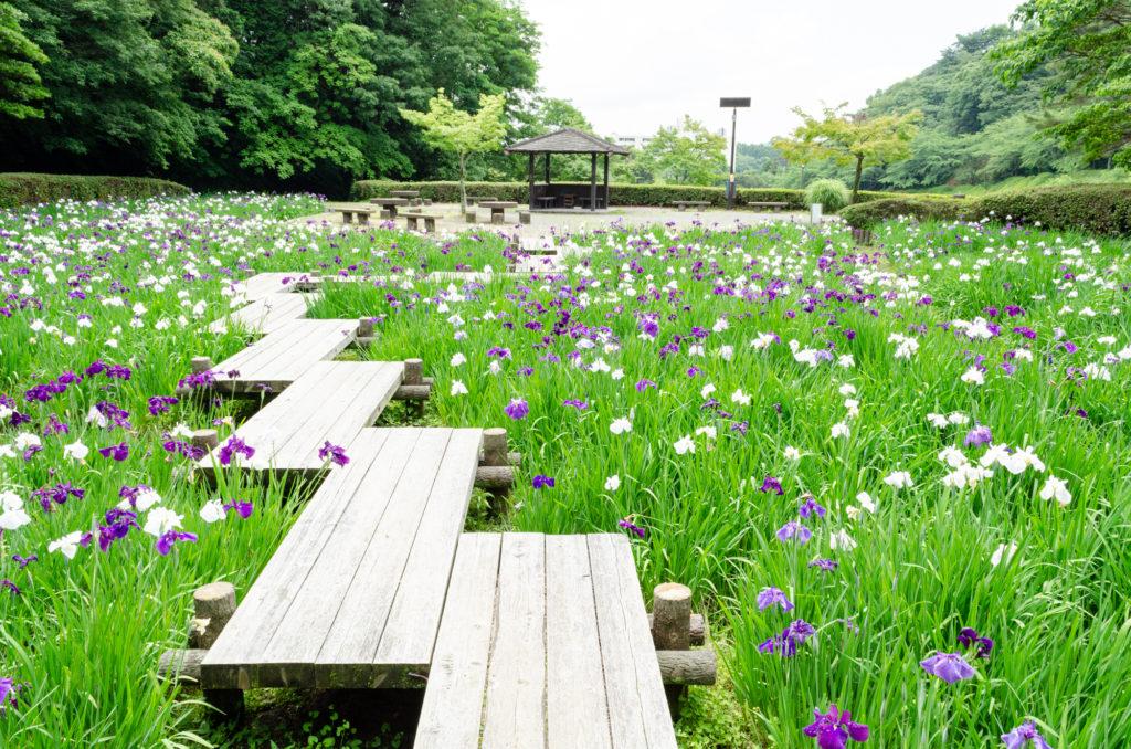 西緑地公園の菖蒲