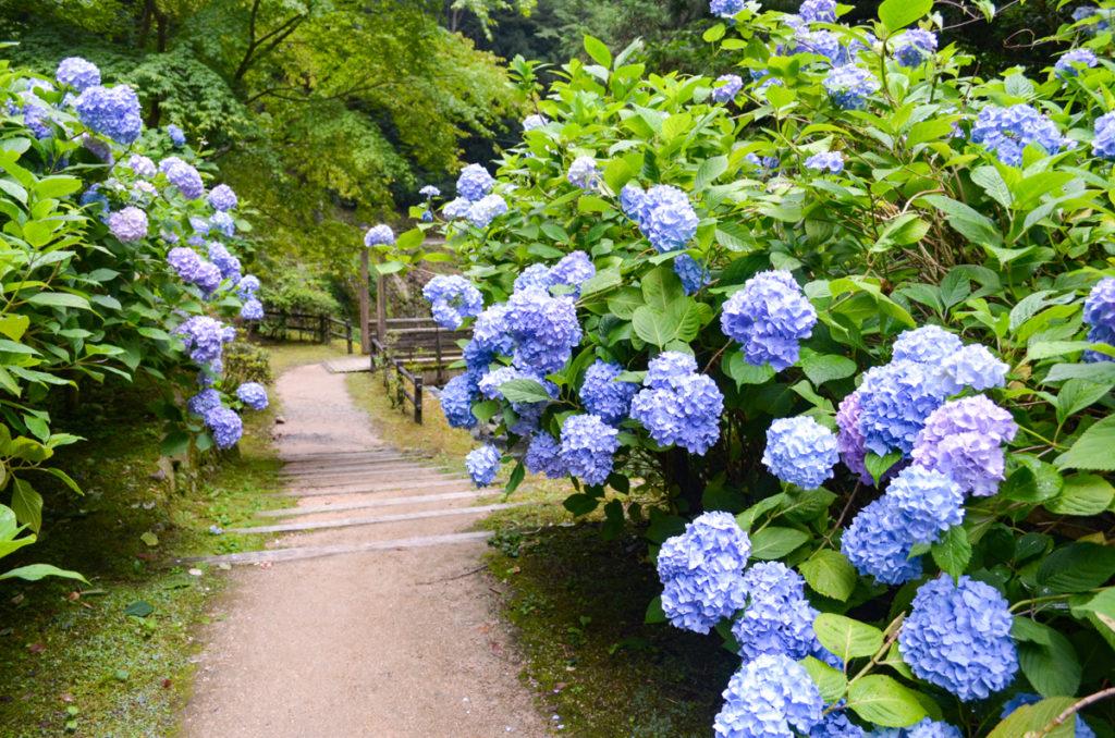 重源の郷の紫陽花ロード