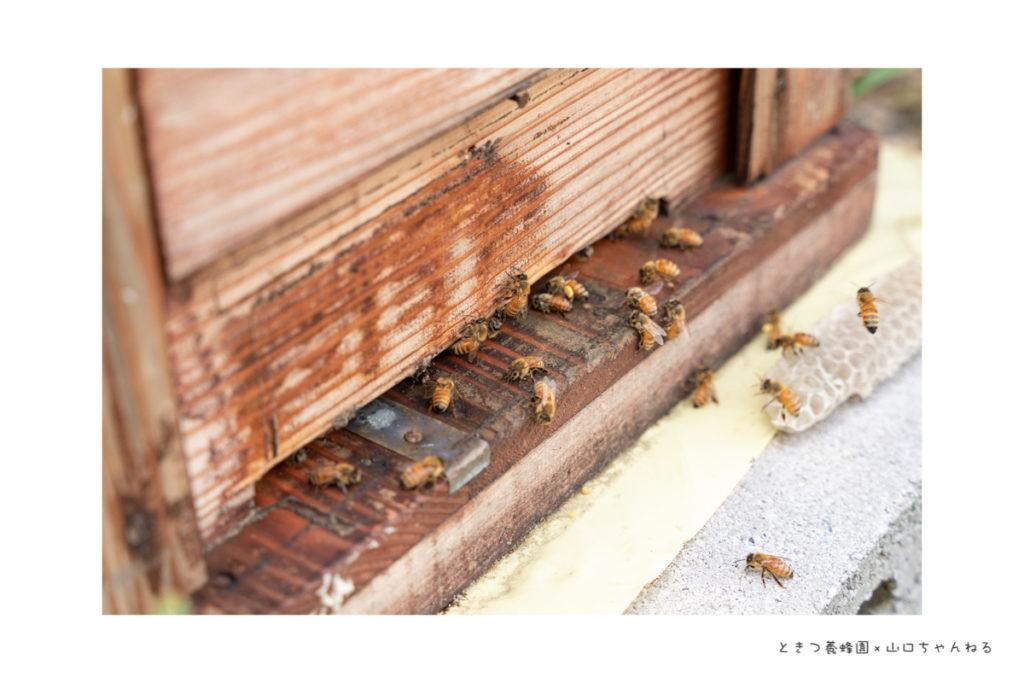 ときつ養蜂園のミツバチ