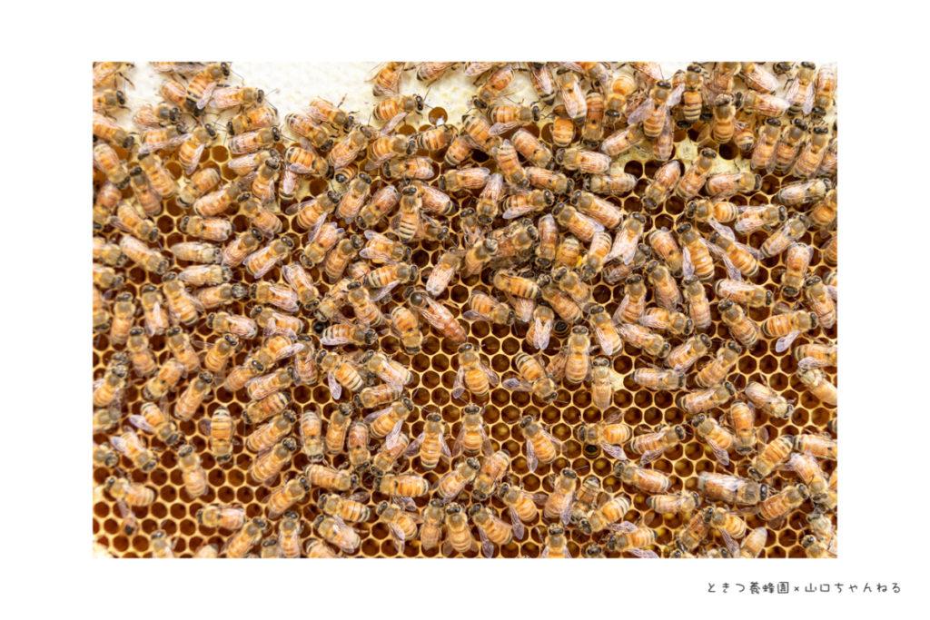 ときつ養蜂園の女王蜂