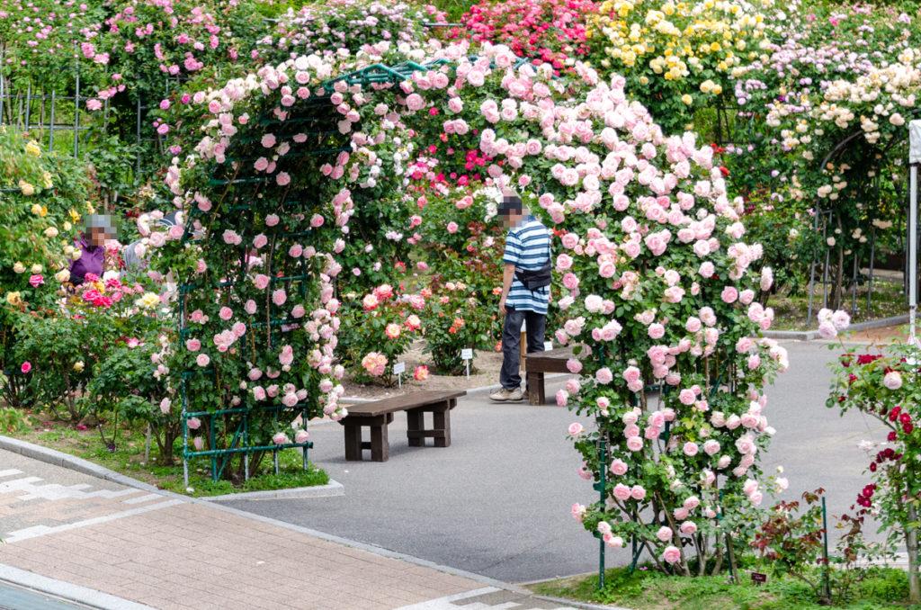 冠山総合公園の薔薇アーチ