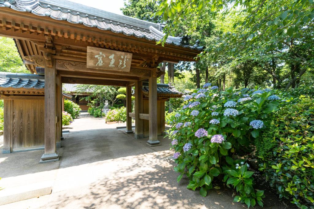向徳寺本堂の紫陽花