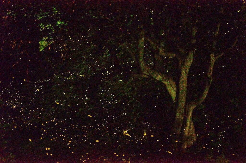 竜王山公園のヒメボタル